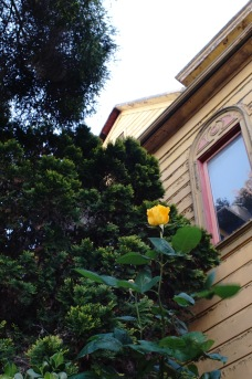 A rose for Goat Hall
